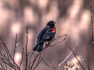 red-winged blackbird seen in the wetlands at huntley meadows park in alexandria, va