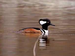 Hooded Merganser Facts