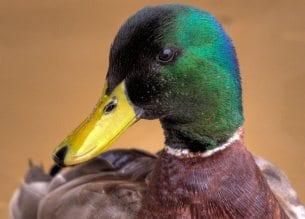 A male mallard duck along the Occoquan River in Virginia.