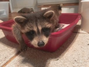Raccoon Facts & My Visit To A Raccoon Sanctuary