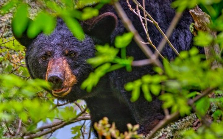 mother black bear in shenandoah national park