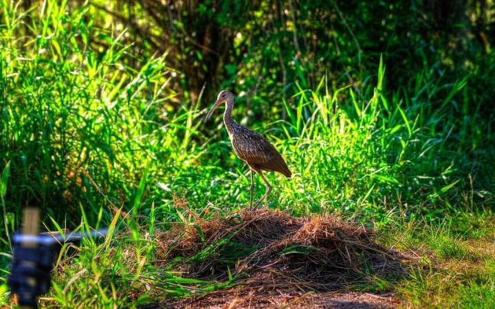 Alligator Nesting & Reproduction Facts