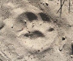 a bobcat print in sand.