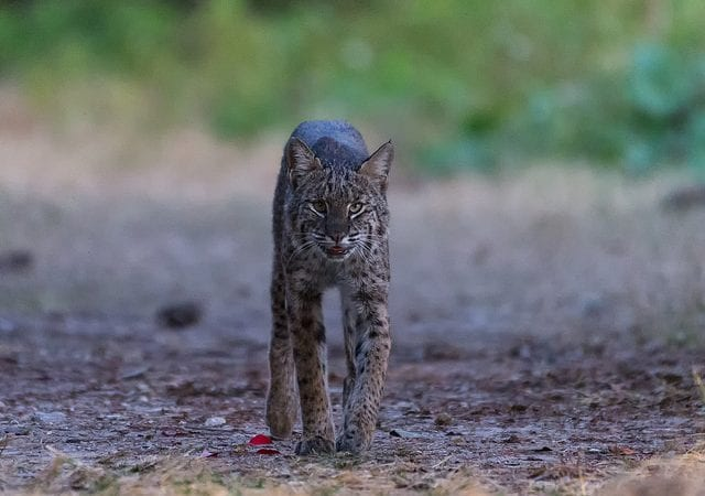 Bobcat Facts - An article that discusses the animal.