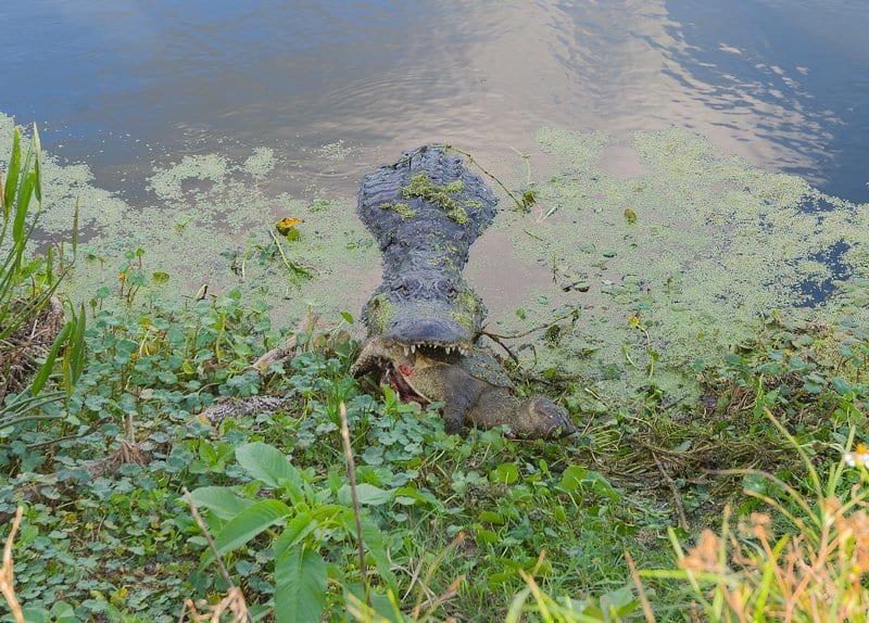 A Video I Captured Of An Alligator Eating A Snapping Turtle