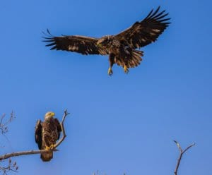 Two juvenille bald eagles