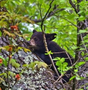 A black bear cub sleeping in a tree in Shenandoah National Park
