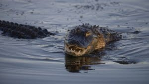 A photograph of two alligators mating