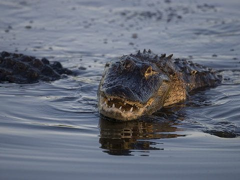 Alligator Reproduction And Nesting Facts