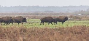 A herd grazing in Paynes Prairie Preserve State Park