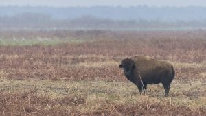 american bison facts and american bison wildlife video - clear landing cover photo