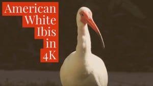 American White Ibis 4k wildlife video