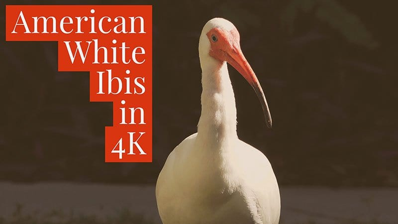 White Ibis Facts and White Ibis 4K Wildlife Video