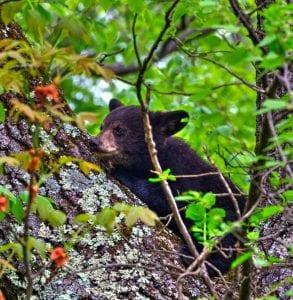 Black bear cub in Shenandoah National Park