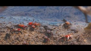 Fiddler Crab Eating and Dancing In This 4K Wildlife Video Cover Photo