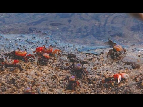 Fiddler Crab Eating & Dancing In This 4K Wildlife Video