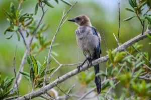 Florida Scrub Jay Picture 1