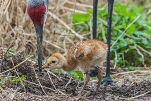 Florida sandhill crane colt being fed by parent