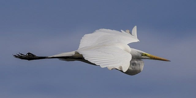 A Great Egret In Flight