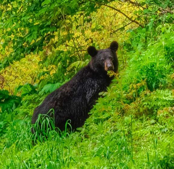 Black Bear In Shenandoah National Park