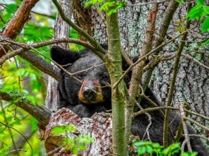 Mother black bear in Shenandoah National Park