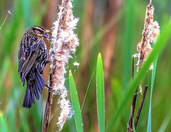 Photograph of a female red winged blackbird