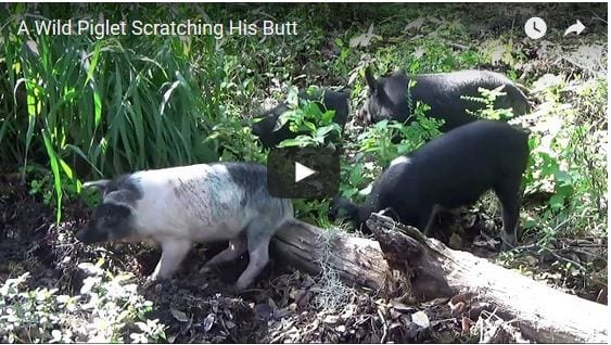 a video of a baby piglet that has an itch and uses a log to scratch it