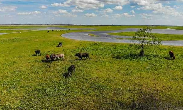 cattle roaming along the st johns river in central florida