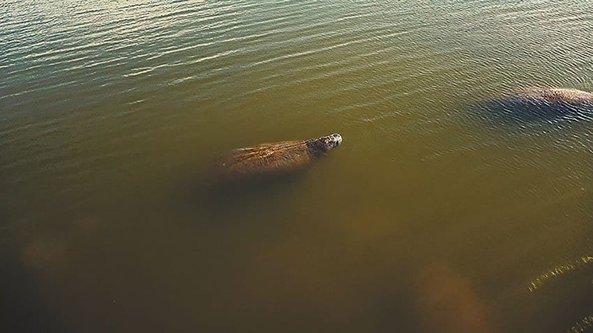 West Indian Manatee Facts & Manatee 4K Wildlife Video
