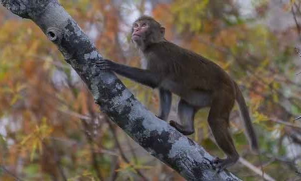 One of the monkeys climbing a tree along the river.