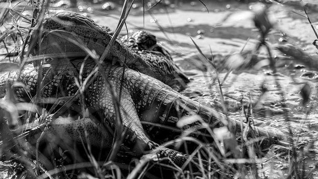 alligator killing and eating another alligator
