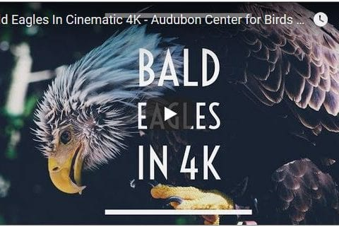 Bald Eagles Filmed in Cinematic 4K