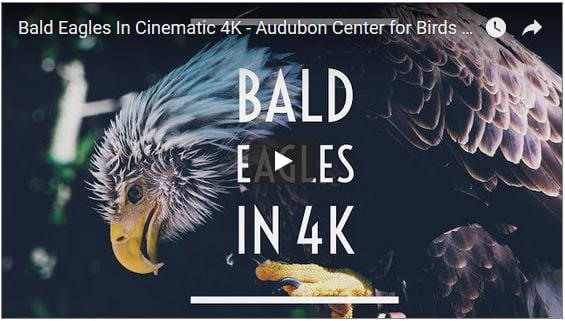 Bald Eagles Filmed in Cinematic 4K
