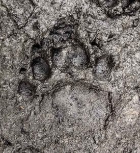black bear print in mud at black bear wilderness preserve - sanford, fl