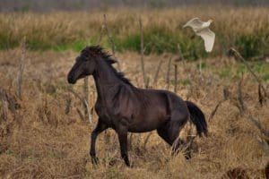 Florida Cracker Horse Facts (Wild Horses) - Paynes Prairie - Clear Landing