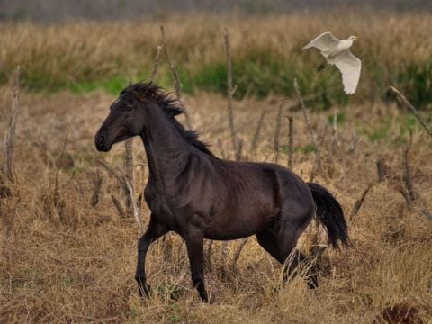 Florida Cracker Horse In Paynes Prairie