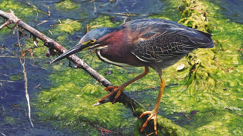 Green Heron 4K Wildlife Video
