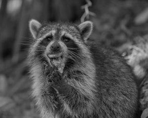 raccoon eating turtle eggs