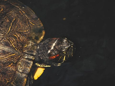 Red Eared Slider Turtle Facts & Red Eared Slider Turtle 4K Wildlife Video