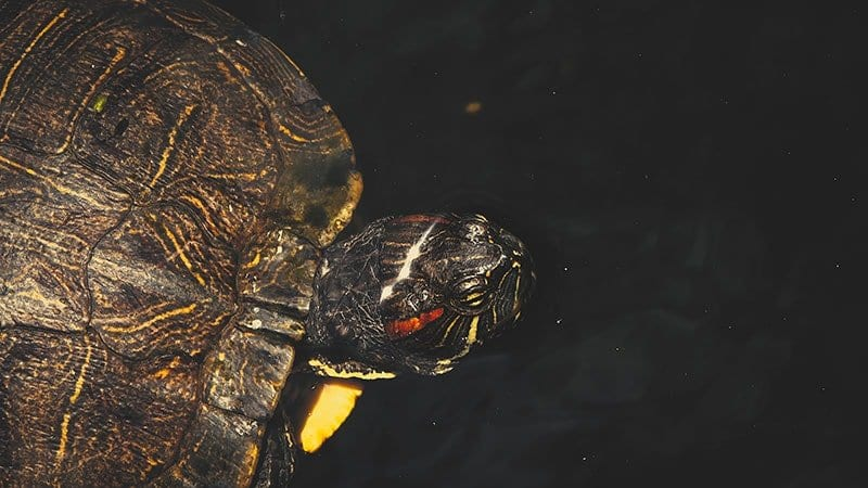 Red Eared Slider Turtle 4K Wildlife Video