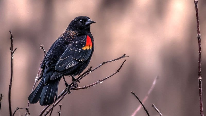 Red Winged Blackbird Facts & Red Winged Blackbird 4K Wildlife Video