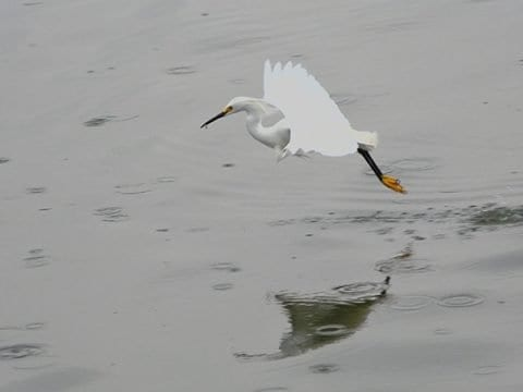 Snowy Egret Facts & 4K Wildlife Video Of Them Hunting Fish