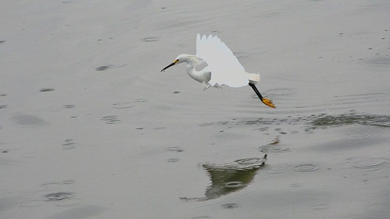 Snowy Egrets Hunting For Fish 4K Wildlife Video